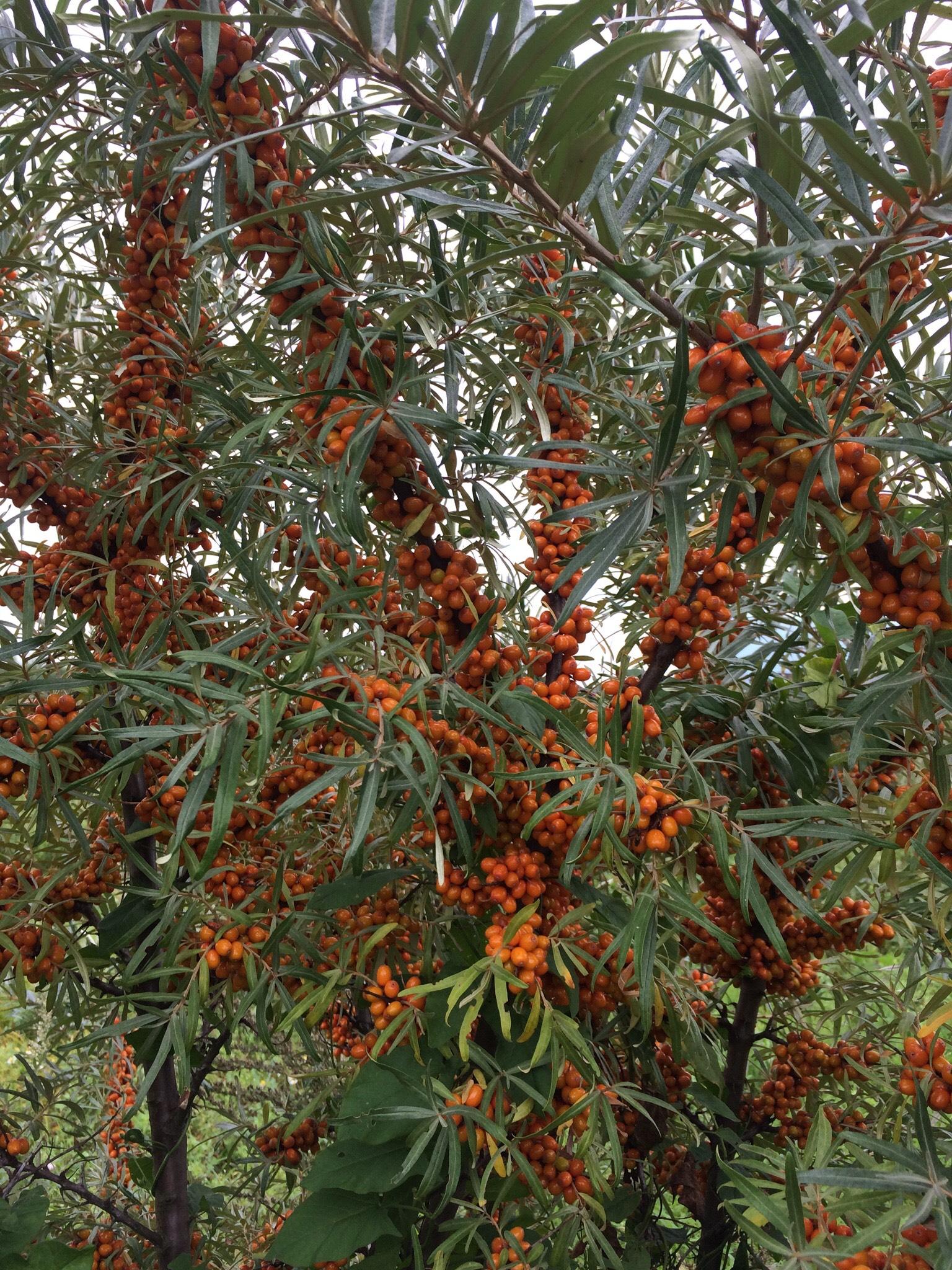 Seabuckthorn tree ready for harvest