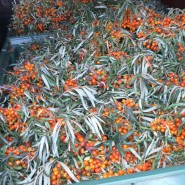 Harvested, loaded seabuckthorn. Transporting to freeze.