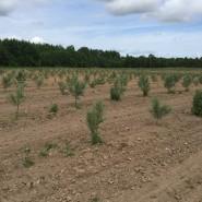 Seabuckthorn plantation