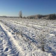 Hippophae rhamnoides trees during winter