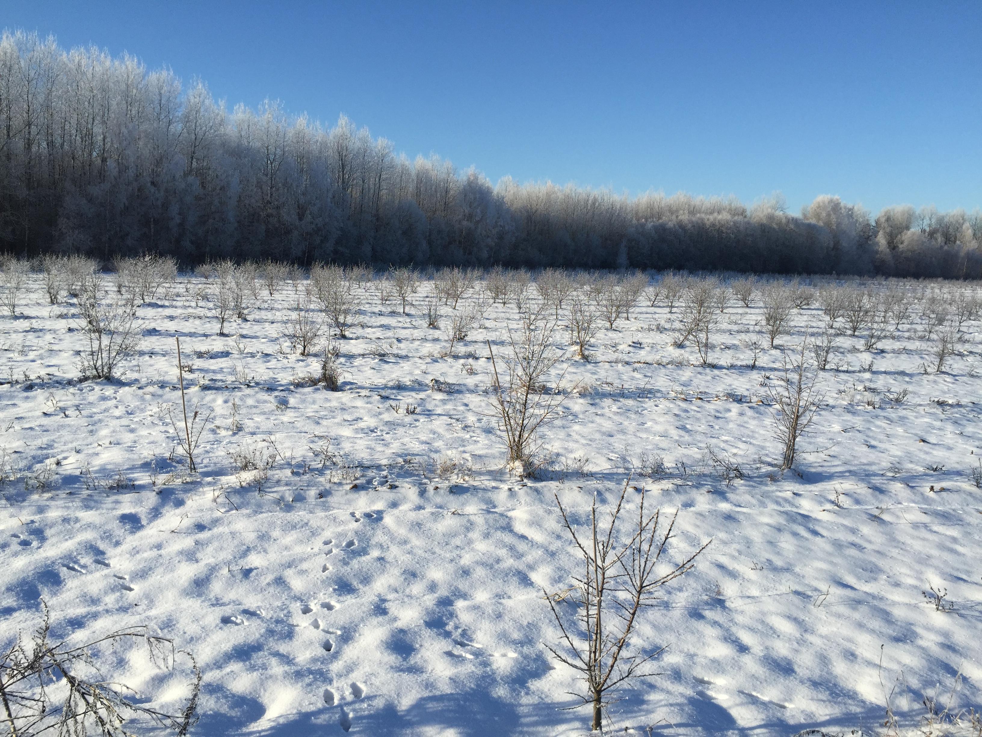 Plantation during winter