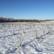 Seabuckthorn plantation during Lithuanian winter