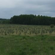 Hippophae rhamnoides plantation. year 2