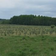 Lithuanian seabuckthorn plantation.