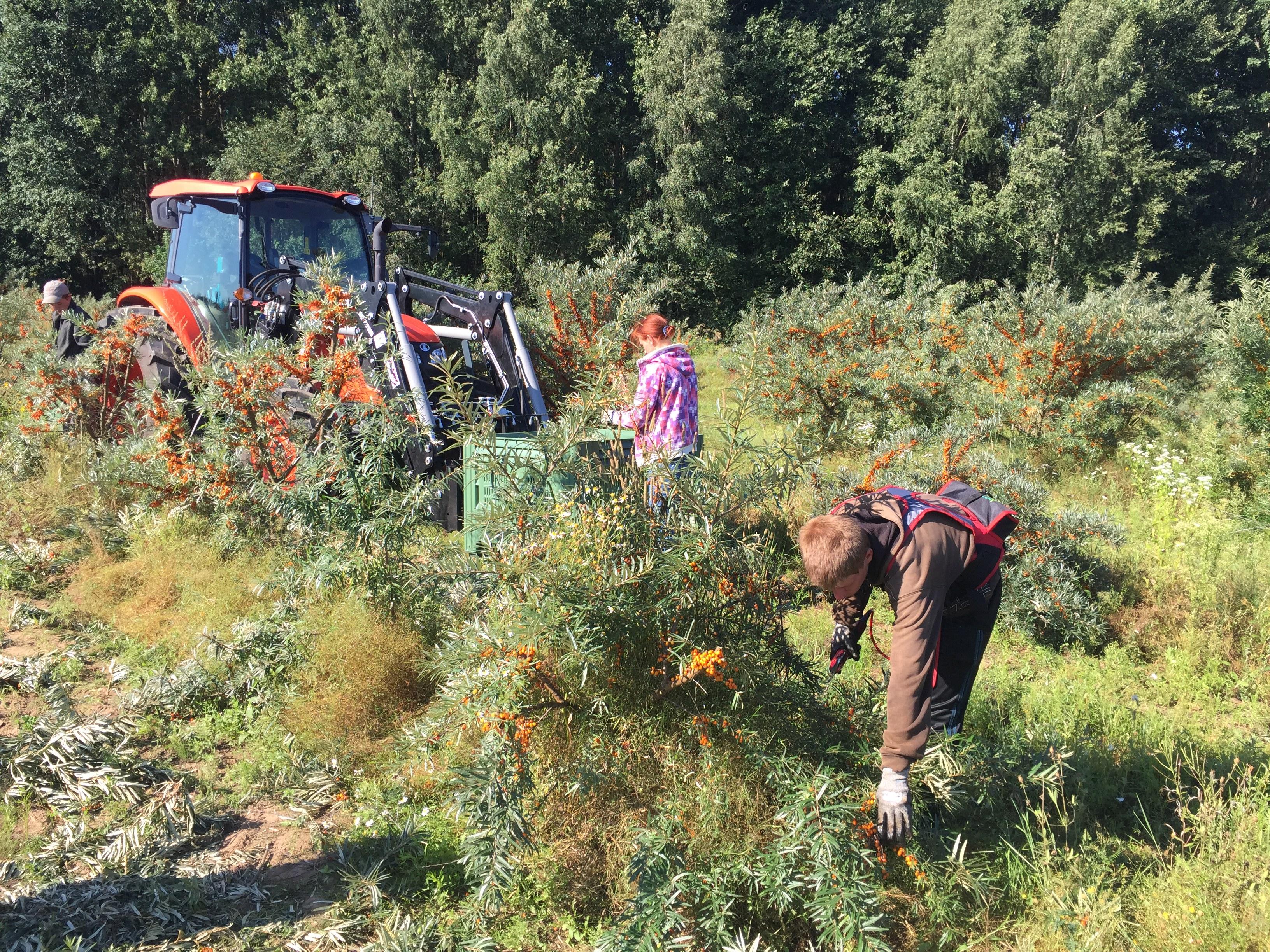 End of summer. Seabuckthorn harvesting