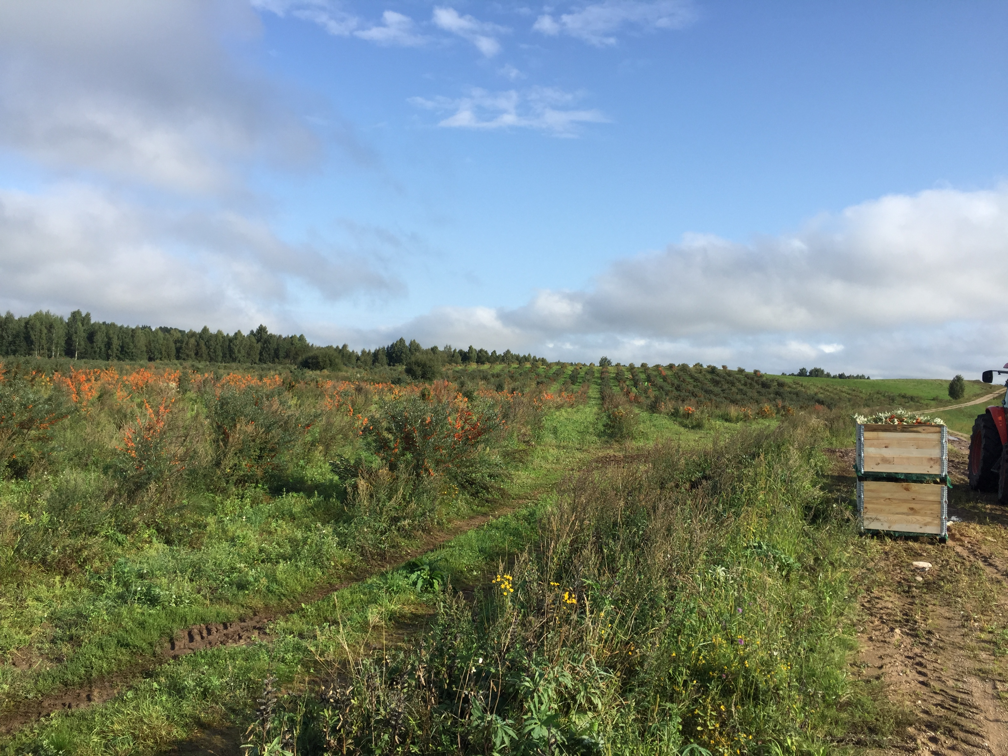 Lithuanian (European Union) seabuckthorn plantation. Ready to harvest.