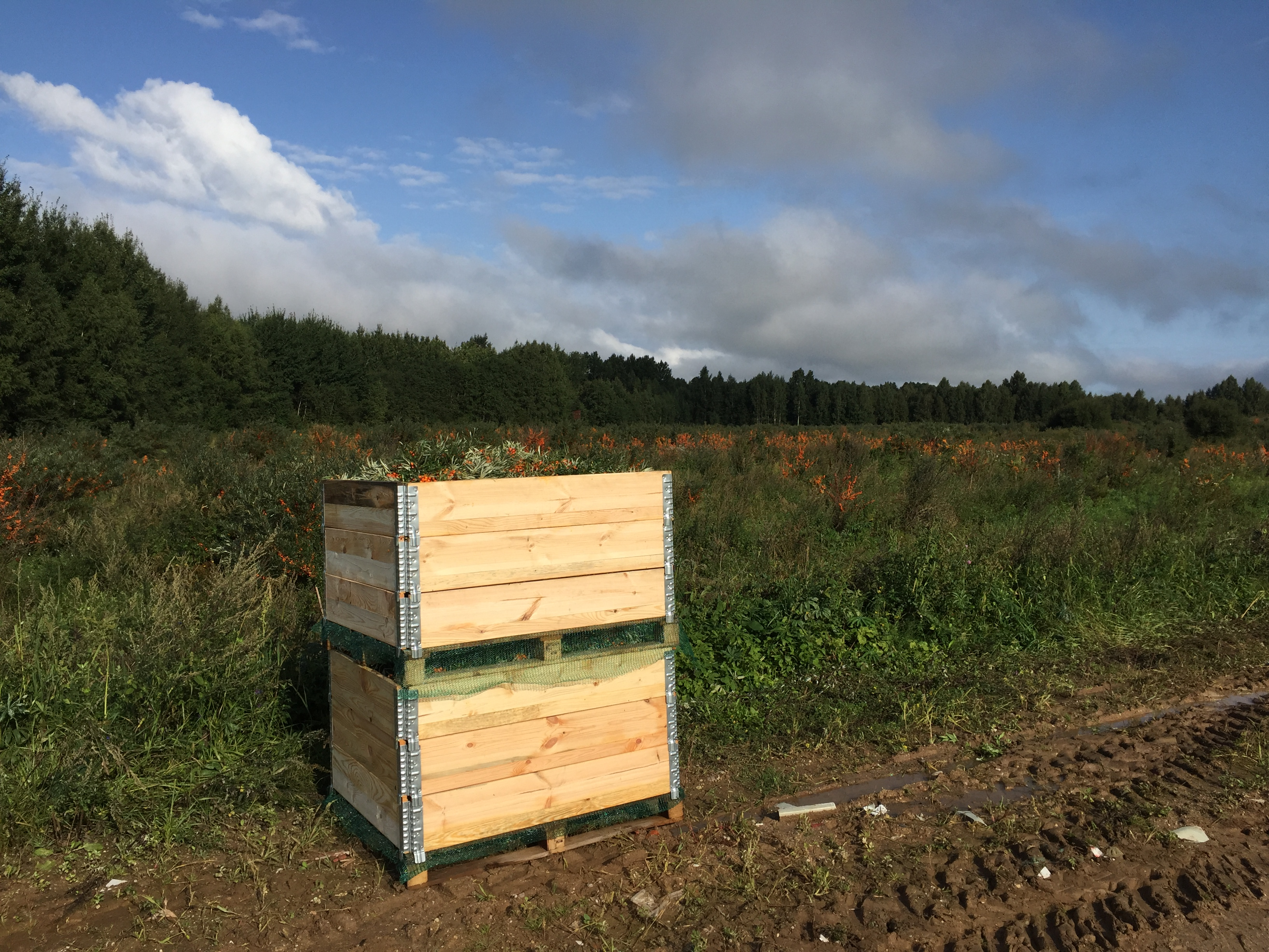Seabuckthorn harvest.